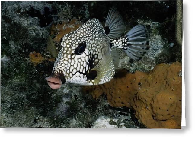 Grand Turk Island Greeting Cards - A Lone Smooth Trunkfish Lactophrys Greeting Card by Wolcott Henry
