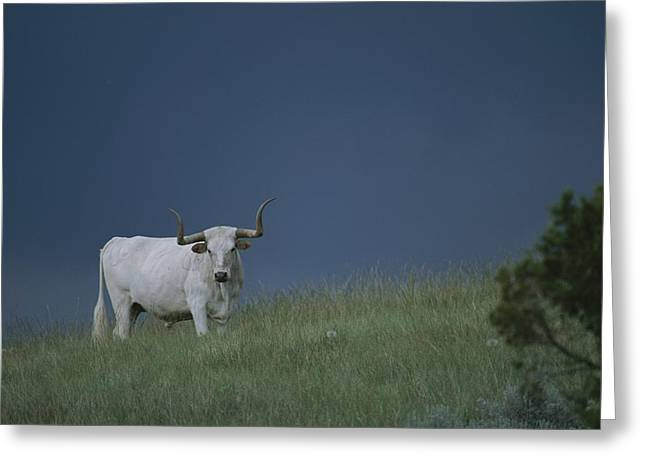 A Longhorn Steer, One Member Of A Small Greeting Card by Michael Melford