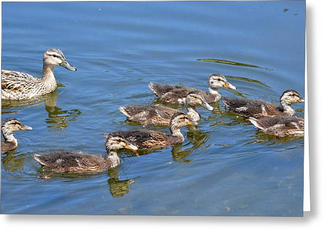 Ducklings Greeting Cards - A Lot To Look After Greeting Card by Fraida Gutovich