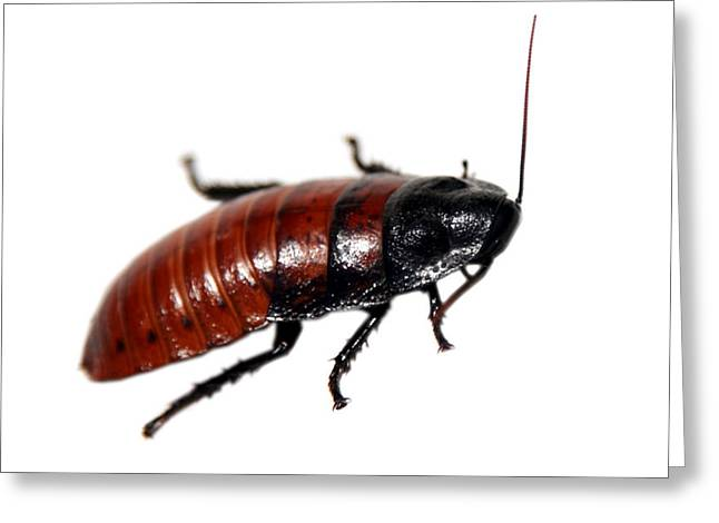 Cockroach Greeting Cards - A Madagascar Hissing Cockroach Greeting Card by Michael Ledray