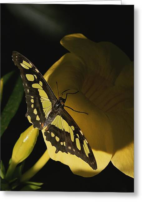 Rockville Greeting Cards - A Malachite Butterfly Resting Greeting Card by Brian Gordon Green