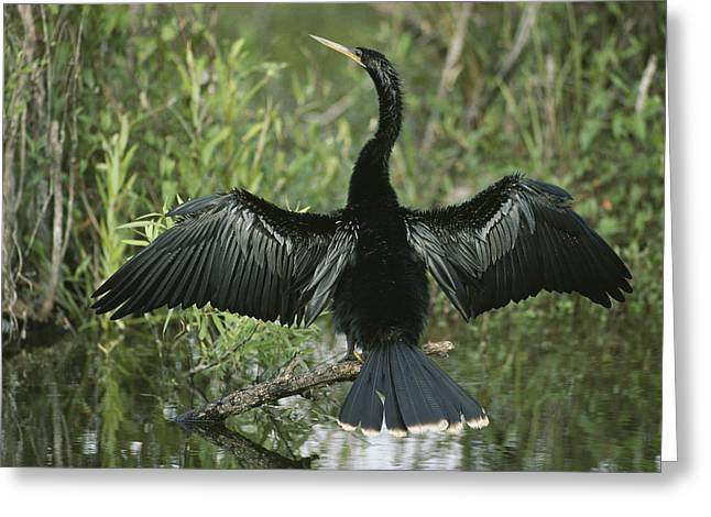 Anhinga Greeting Cards - A Male Anhinga Spreads Its Wings While Greeting Card by Klaus Nigge