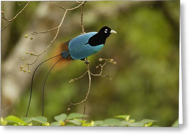 Southern Province Greeting Cards - A Male Blue Bird Of Paradise Perched Greeting Card by Tim Laman