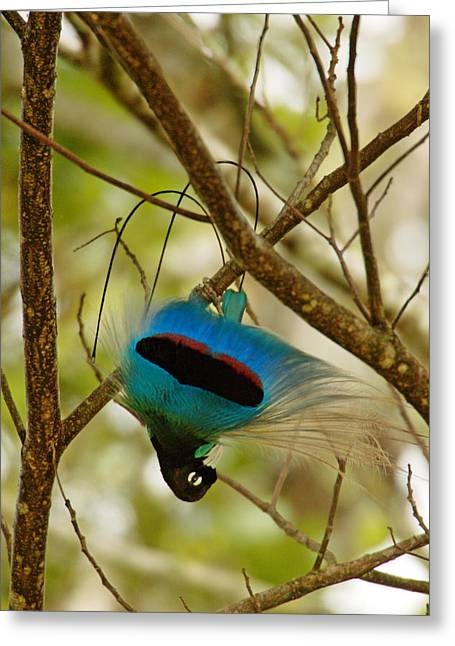 Southern Province Greeting Cards - A Male Blue Bird Of Paradise Performing Greeting Card by Tim Laman