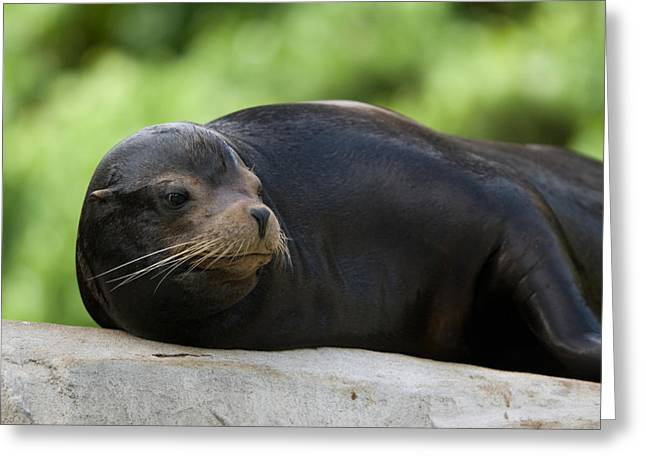 Sea Lions Greeting Cards - A Male California Sea Lion At The Omaha Greeting Card by Joel Sartore