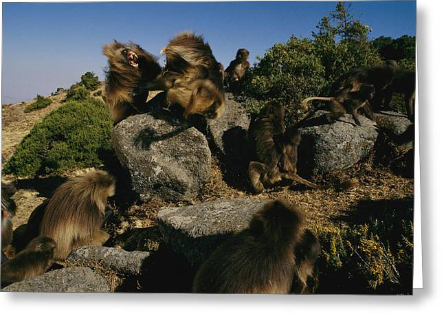 Anger And Hostility Greeting Cards - A Male Gelada Bares His Teeth At An Greeting Card by Michael Nichols