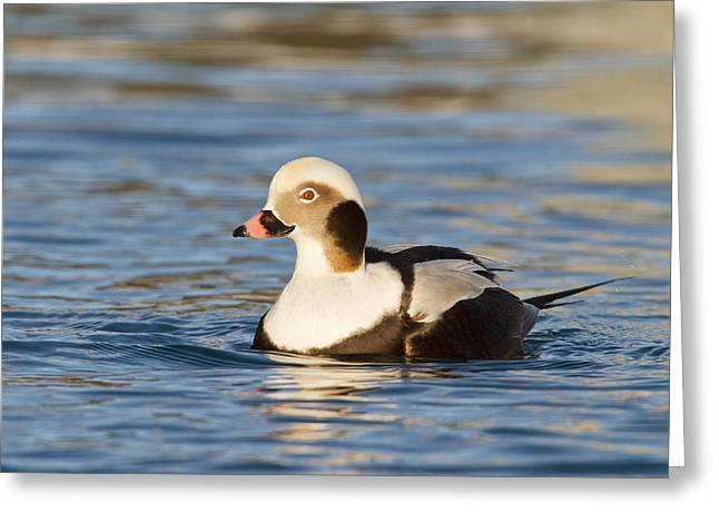 Kodiak Greeting Cards - A Male Long-Tailed Duck Greeting Card by Tim Grams