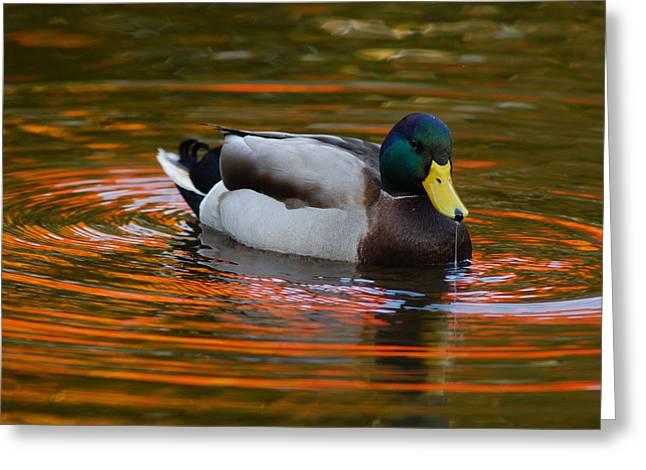 Full-length Portrait Photographs Greeting Cards - A Male Mallard Duck Drinking.  Fall Greeting Card by Darlyne A. Murawski