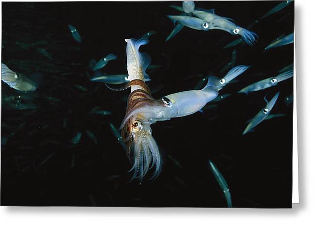 Opalescent Greeting Cards - A Male Opalescent Inshore Squid Wraps Greeting Card by Brian J. Skerry