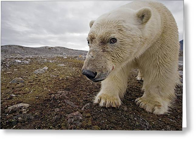 Remote Cameras Greeting Cards - A Male Polar Bear Taking Its Image Greeting Card by Paul Nicklen