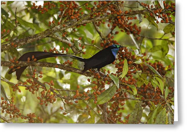 Southern Province Greeting Cards - A Male Princess Stephanies Bird Greeting Card by Tim Laman