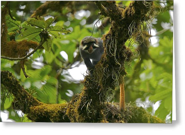 Red-eared Greeting Cards - A Male Red Eared Guenon Monkey Greeting Card by Tim Laman