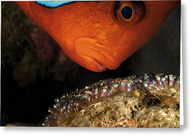 Embryo Greeting Cards - A Male Tomato Clownfish Tends Greeting Card by David Doubilet