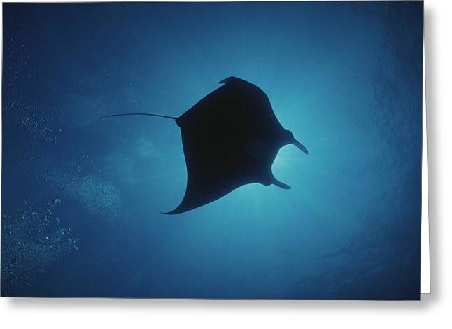 Ray Fish Greeting Cards - A Manta Ray Silhouetted By Sun Rays Greeting Card by Raul Touzon