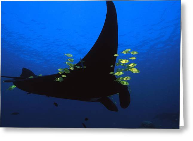 Ray Fish Greeting Cards - A Manta Ray With Yellow Striped Jacks Greeting Card by David Doubilet