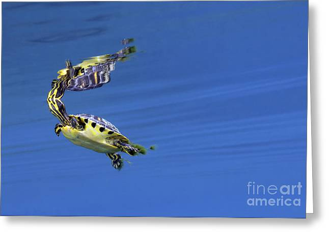 Undersea Photography Greeting Cards - A Map Turtle Surfaces For Air Greeting Card by Terry Moore