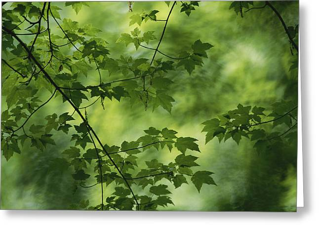 Arlington Greeting Cards - A Maple Tree Branch With Spring Foliage Greeting Card by Todd Gipstein