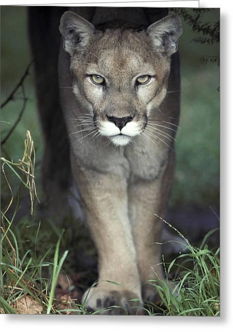 A Mesmerising Glare Of A Stalking Puma Greeting Card by Jason Edwards