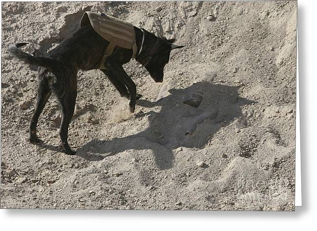 Dutch Shepherd Greeting Cards - A Military Working Dog Searches An Area Greeting Card by Stocktrek Images