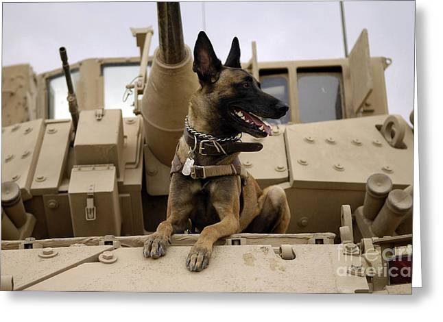Iraq Greeting Cards - A Military Working Dog Sits On A U.s Greeting Card by Stocktrek Images