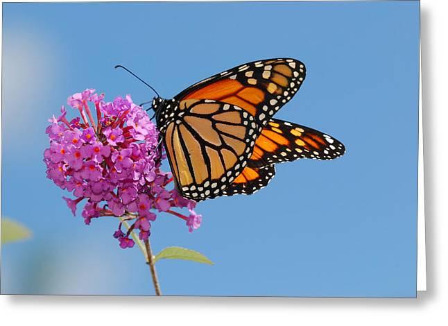 Full-length Portrait Photographs Greeting Cards - A Monarch Butterfly, Danaus Plexippus Greeting Card by Darlyne A. Murawski
