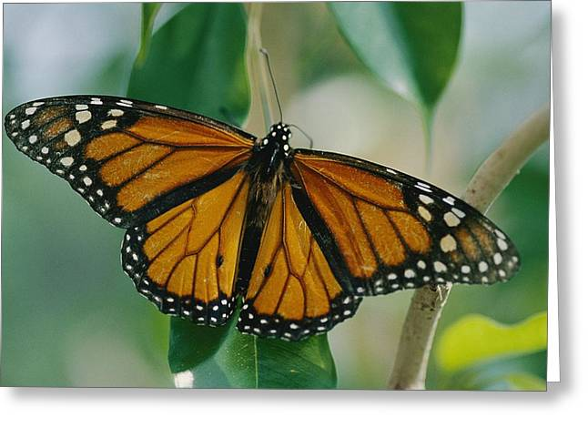 Patterns In Nature Greeting Cards - A Monarch Butterfly Danaus Plexippus Greeting Card by Joel Sartore