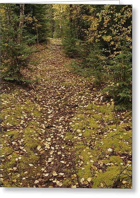 Park Scene Greeting Cards - A Moss-covered Path In A Pine Forest Greeting Card by Raymond Gehman