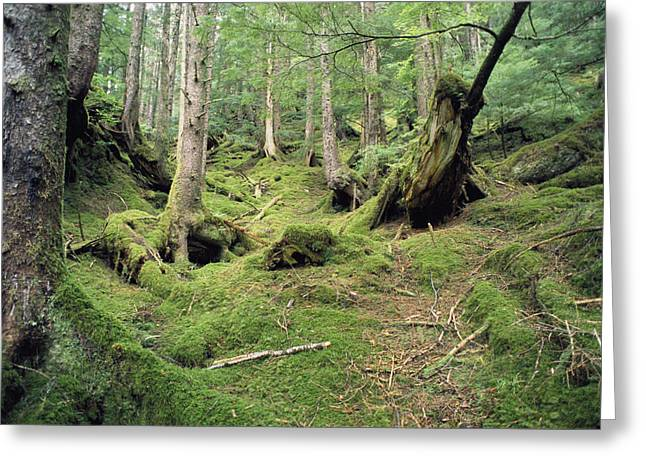 Queen Charlotte Islands Greeting Cards - A Mossy Woodland View On Queen Greeting Card by Bill Curtsinger