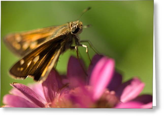 Zinnia Elegans Greeting Cards - A Moth Feeds On A Zinnia Flower Greeting Card by Joel Sartore