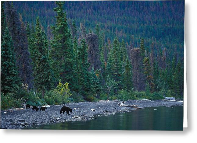 Triplets Greeting Cards - A Mother Black Bear And Her Triplets Greeting Card by Nick Norman