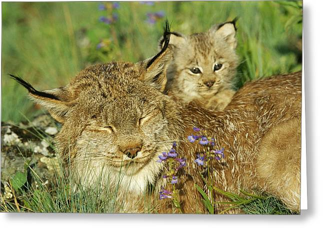 Canadian Lynx Greeting Cards - A Mother Canadian Lynx Rests Greeting Card by Norbert Rosing