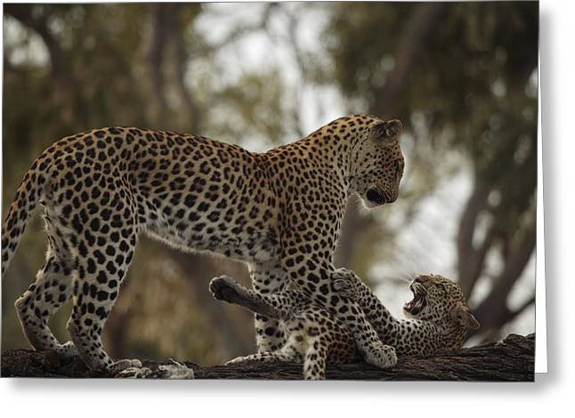 Wildcats Greeting Cards - A Mother Leopard Playing Greeting Card by Beverly Joubert