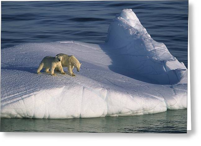 Polar Bear Standing Greeting Cards - A Mother Polar Bear And Her Cub Ride Greeting Card by Paul Nicklen