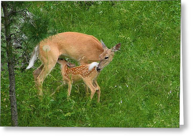 Fawn Greeting Cards - A Mothers Love - Doe and Fawn Greeting Card by Christine Till