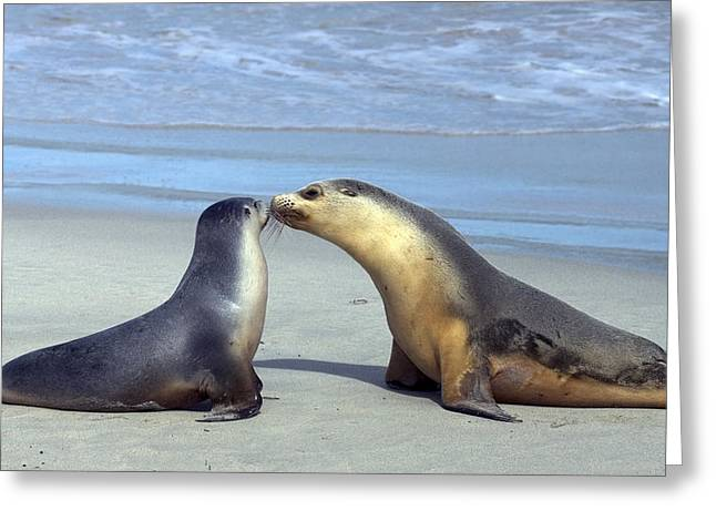 Australian Sea Lion Greeting Cards - A Mothers Love Greeting Card by Mike  Dawson