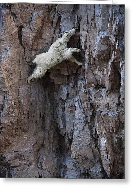 Edge Of The Cliff Greeting Cards - A Mountain Goat Descends A Sheer Rock Greeting Card by Joel Sartore
