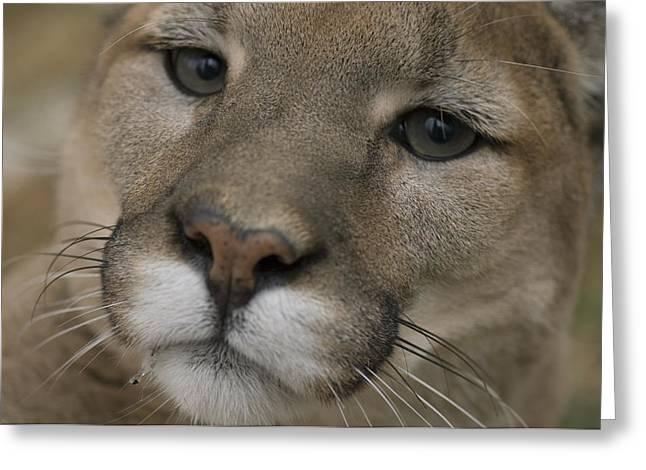 A Mountain Lion, Or Puma Puma Concolor Greeting Card by Joel Sartore