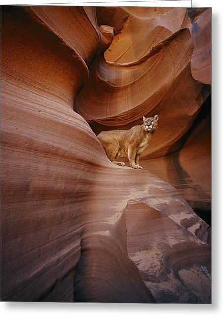 Fissure Greeting Cards - A Mountain Lion Pauses On A Ledge Greeting Card by Norbert Rosing