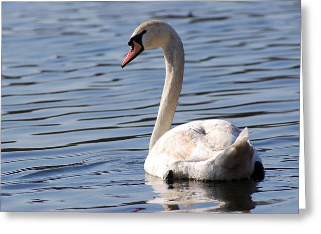Muted Greeting Cards - A Mute Swan Cygnus Olor Swimming. It Greeting Card by Darlyne A. Murawski