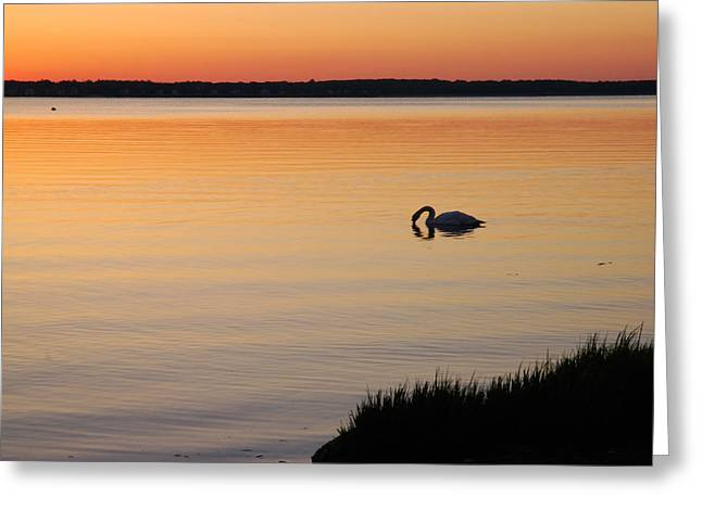 Muted Greeting Cards - A Mute Swan Feeding In The Narragansett Greeting Card by Darlyne A. Murawski