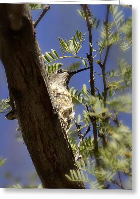Nature Nesting Greeting Cards - A Nesting Hummingbird Greeting Card by Saija  Lehtonen