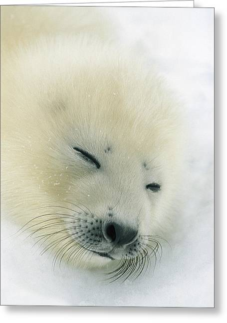 Bask Greeting Cards - A  Newborn Harp Seal Pup In Its Thin Greeting Card by Norbert Rosing