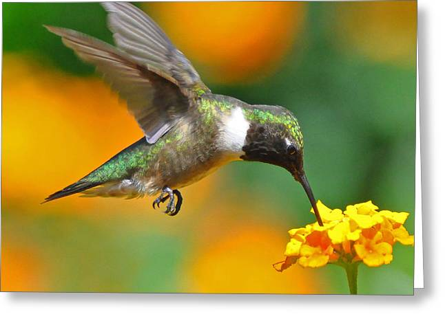 Jessie Dickson Greeting Cards - A Nice Hummer Greeting Card by Jessie Dickson