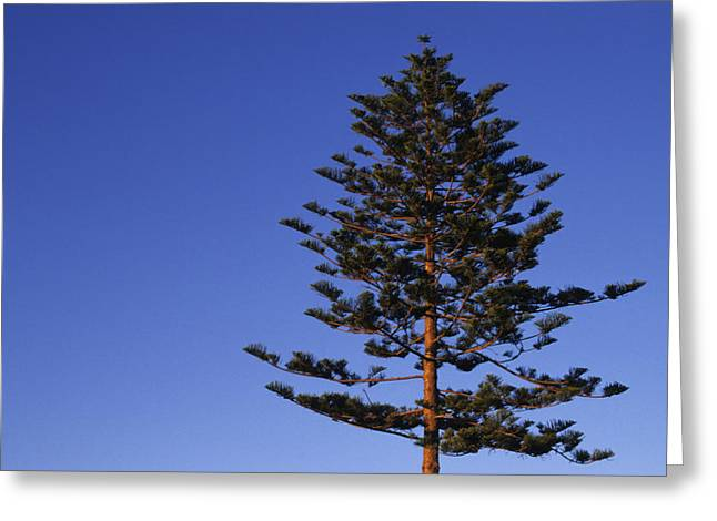 Ventura California Greeting Cards - A Norfolk Pine Tree Greeting Card by Stacy Gold