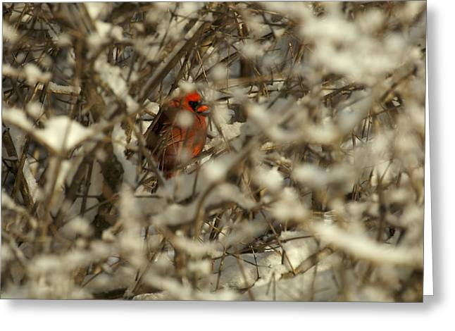 Male Cardinals In Snow Greeting Cards - A Northern Cardinal Hiding In A Snow Greeting Card by Tim Laman