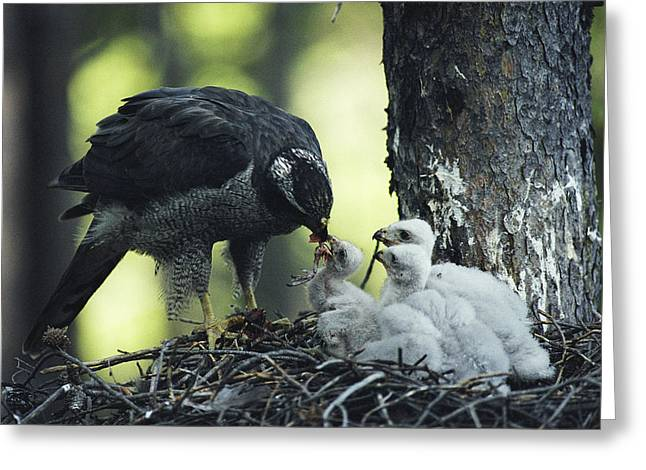 A Northern Goshawk Feeds Its Scrawny Greeting Card by Michael S. Quinton