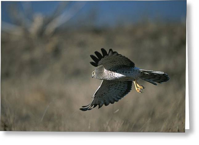 A Northern Harrier Hawk In Flight Greeting Card by Roy Toft