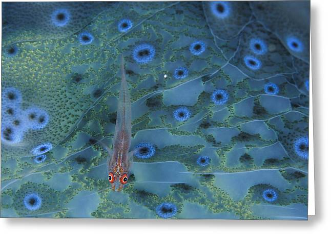 Goby Greeting Cards - A One Inch Translucent Goby Rests Atop Greeting Card by David Doubilet