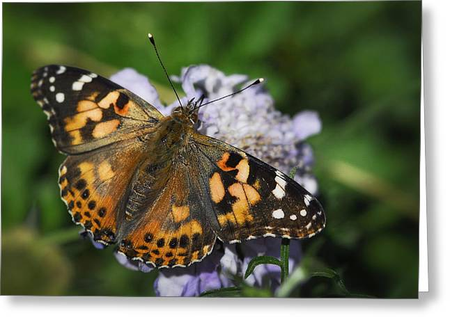 Painted Lady Butterflies Greeting Cards - A Painted Lady  Greeting Card by Saija  Lehtonen