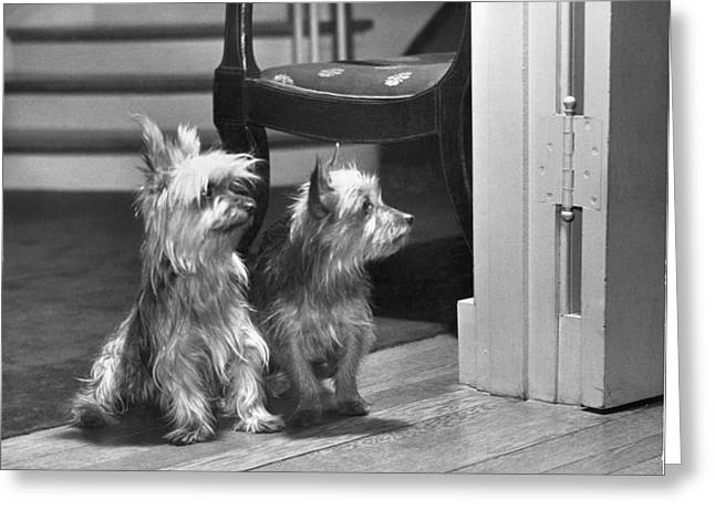 Full-length Portrait Photographs Greeting Cards - A Pair Of Australian Silky Terriers Greeting Card by Willard Culver